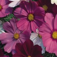 Cosmos Sensation mix - 300 seeds